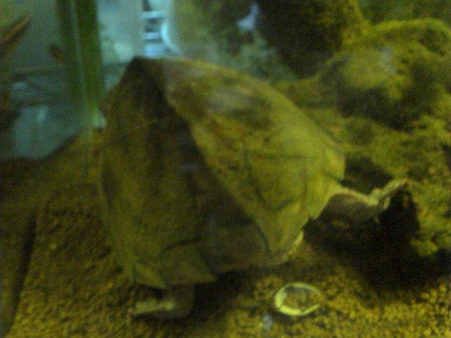 カブトニオイガメの後ろ姿