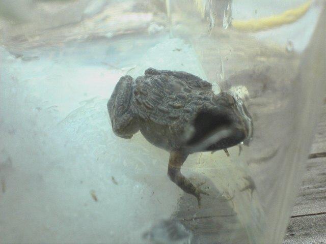 ベルツノガエルの餌