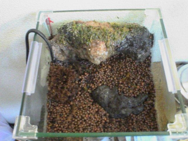 ベルツノガエルの飼育環境