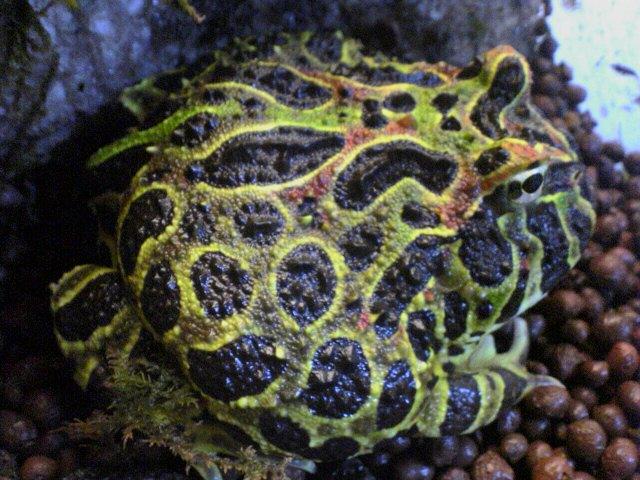 ベルツノガエルの体色