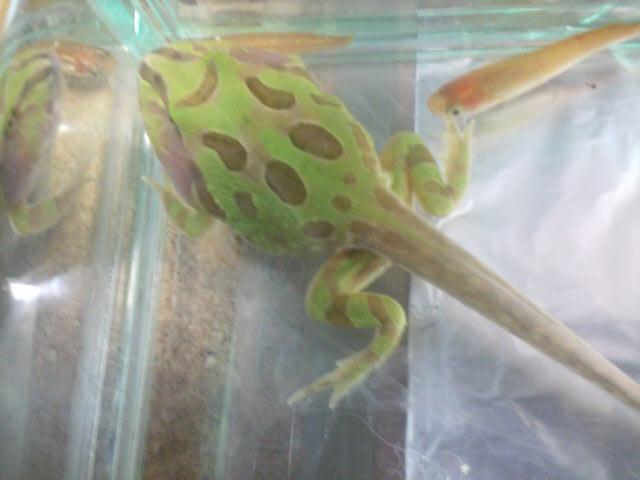 ペパーミントツノガエルのオタマジャクシ