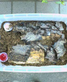 オオクワガタの産卵セット