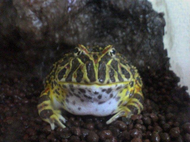 普段のベルツノガエル