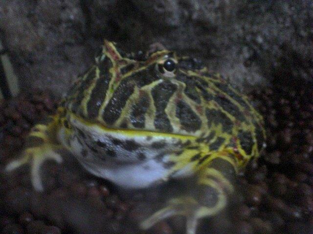 やや肥満気味のベルツノガエル