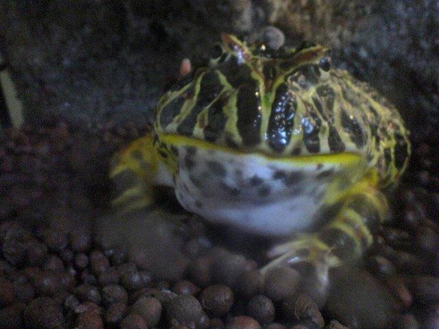 脱皮中のベルツノガエル