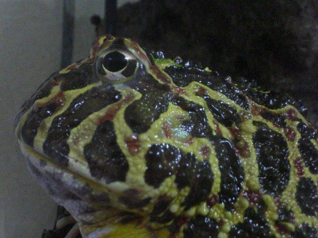 ベルツノガエルの皮膚