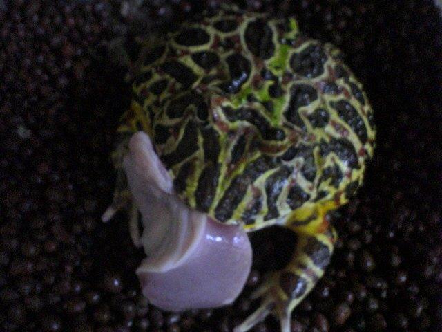 ベルツノガエルに与える砂肝の大きさ